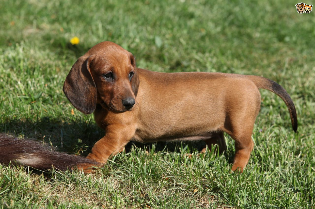 Dachshund Backgrounds, Compatible - PC, Mobile, Gadgets| 1280x853 px