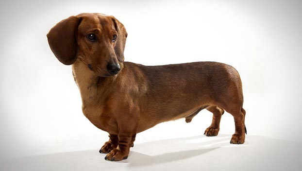 Dachshund Backgrounds on Wallpapers Vista