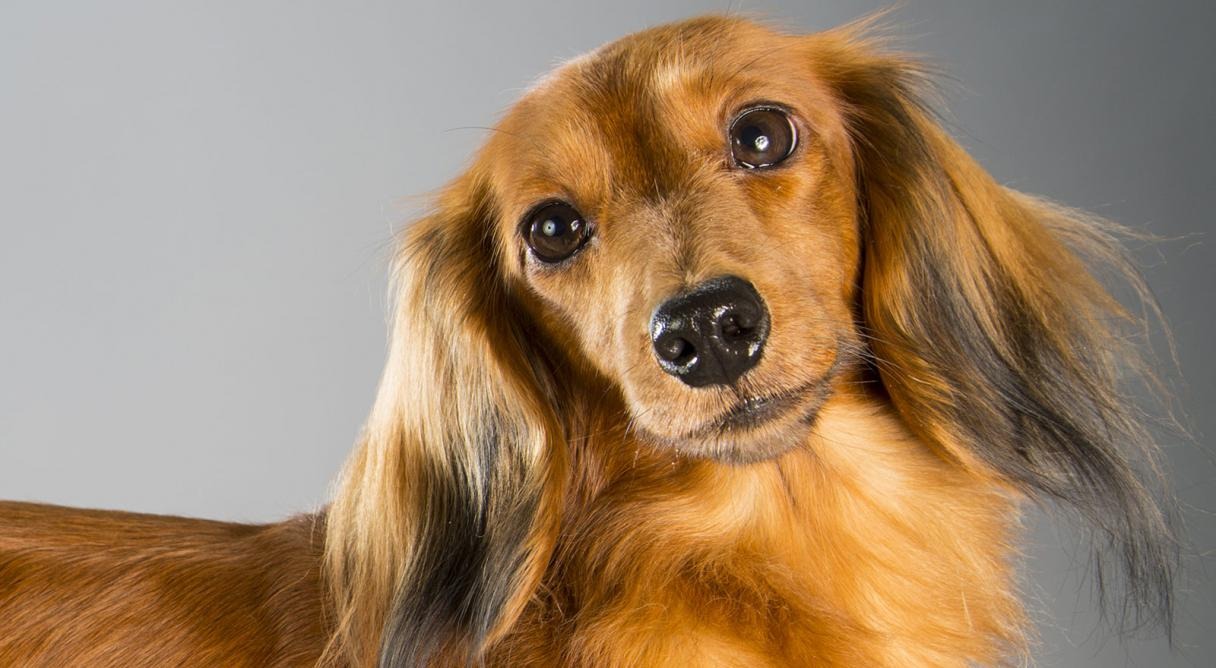 HD Quality Wallpaper | Collection: Animal, 1216x668 Dachshund