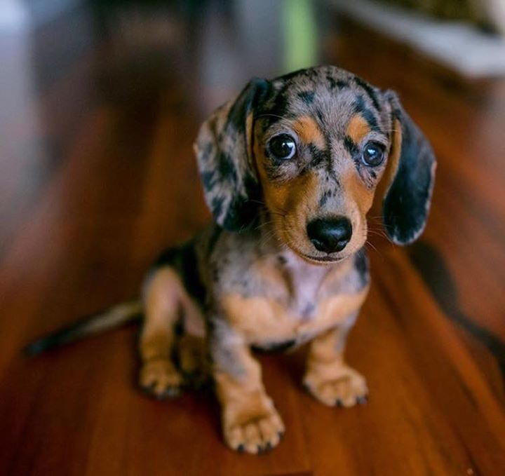 Dachshund Pics, Animal Collection