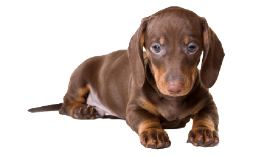 Images of Dachshund | 520x307