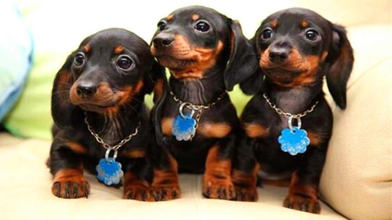 Dachshund High Quality Background on Wallpapers Vista