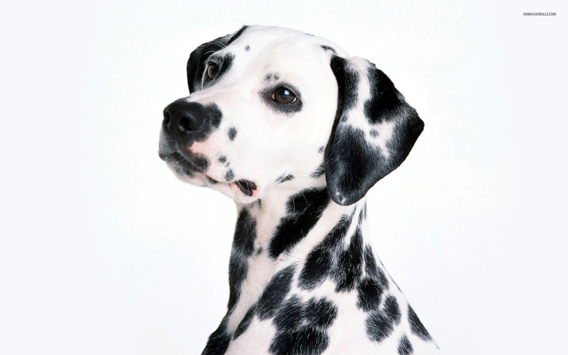 Dalmatian HD wallpapers, Desktop wallpaper - most viewed