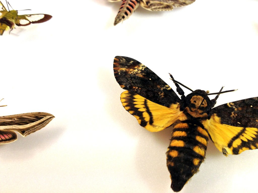 Deaths Head Moth High Quality Background on Wallpapers Vista