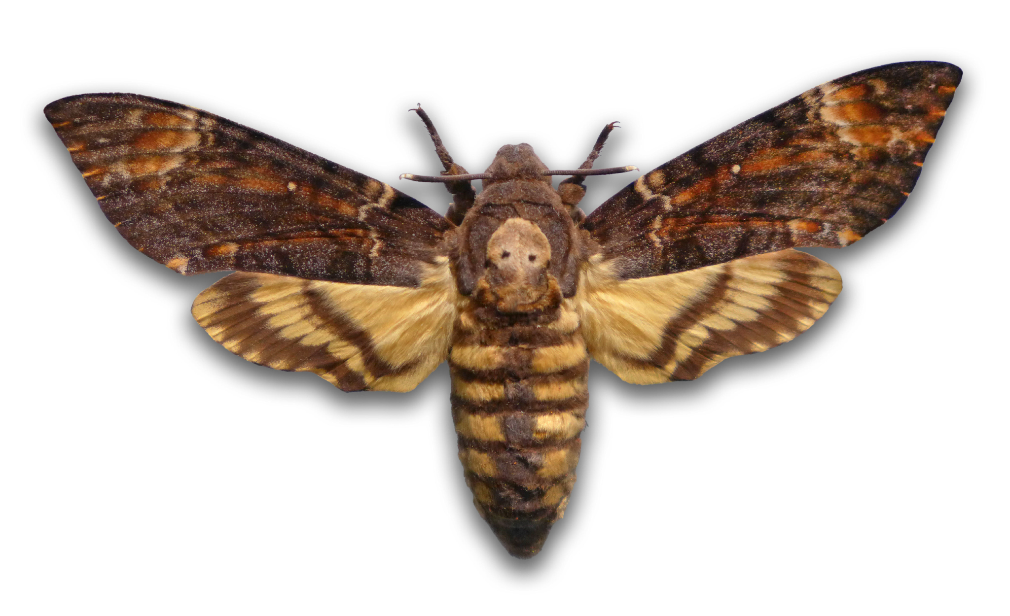 HD Quality Wallpaper | Collection: Animal, 2048x1250 Deaths Head Moth