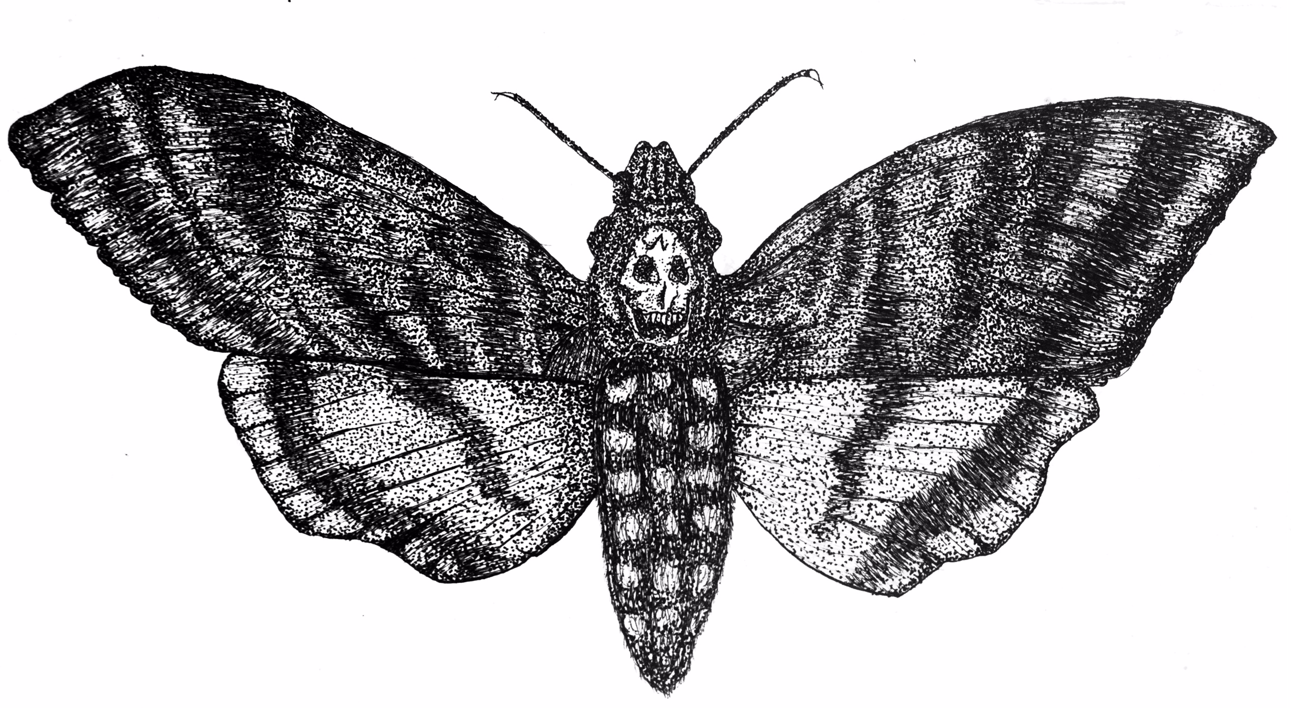 High Resolution Wallpaper | Deaths Head Moth 2536x1392 px
