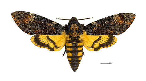 Nice wallpapers Deaths Head Moth 620x345px