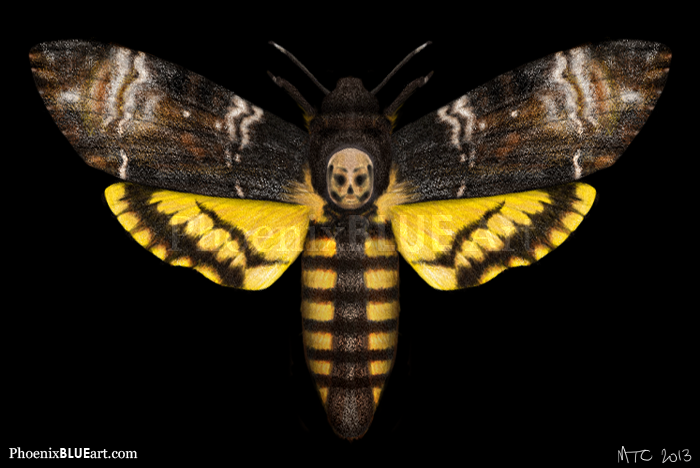 HD Quality Wallpaper | Collection: Animal, 700x468 Deaths Head Moth