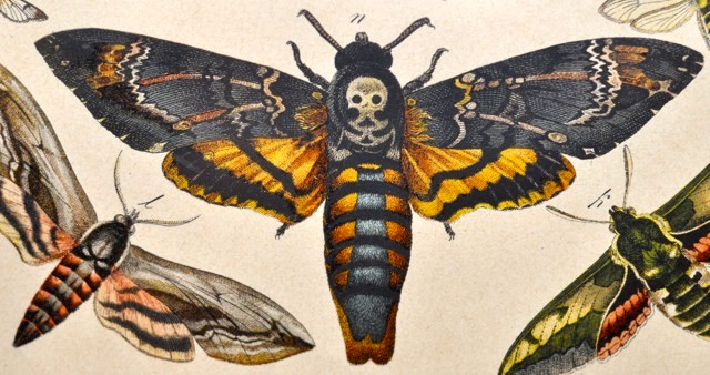 HQ Deaths Head Moth Wallpapers | File 88.83Kb