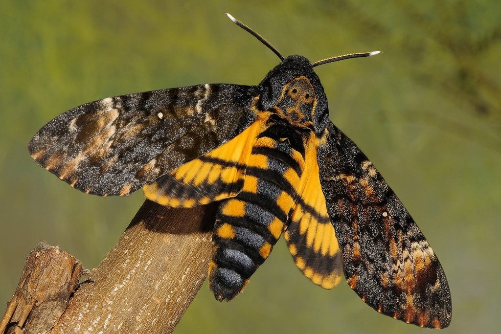 Amazing Deaths Head Moth Pictures & Backgrounds