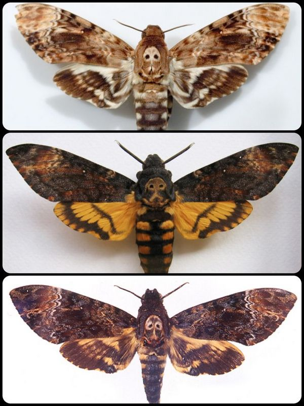 Deaths Head Moth Pics, Animal Collection
