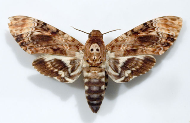 640x414 > Deaths Head Moth Wallpapers