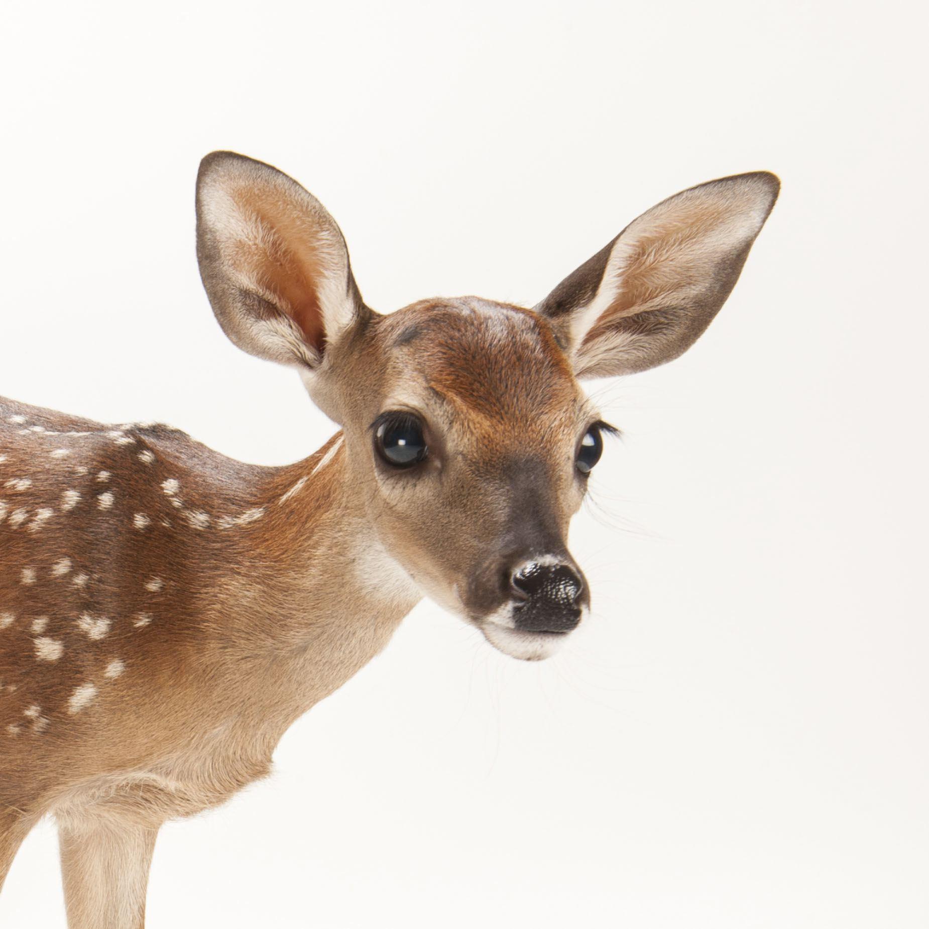 HQ Deer Wallpapers | File 233.05Kb
