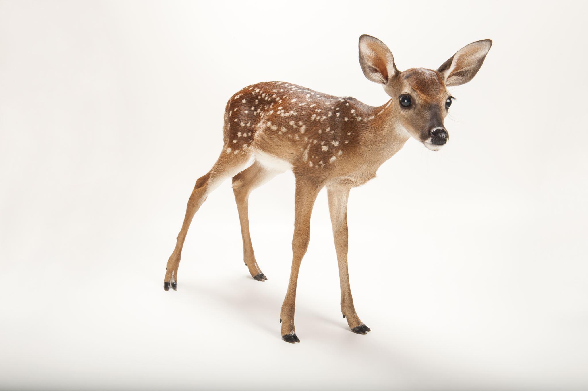 High Resolution Wallpaper | Deer 2048x1362 px