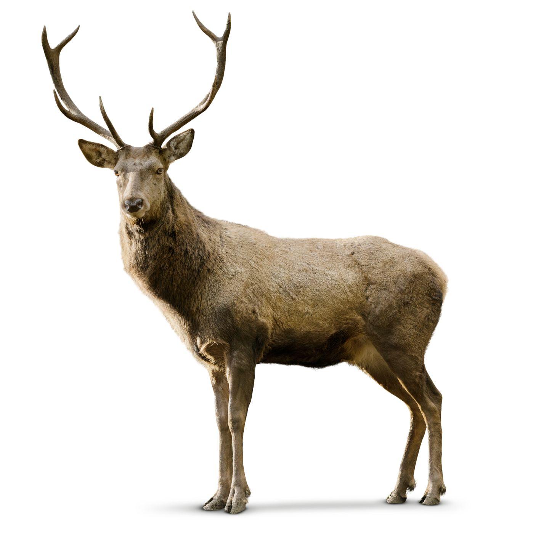 Deer Backgrounds, Compatible - PC, Mobile, Gadgets| 1440x1440 px