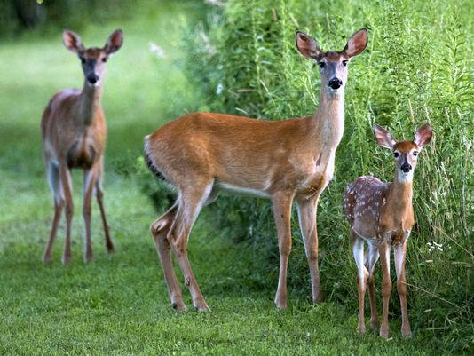 Deer Pics, Animal Collection
