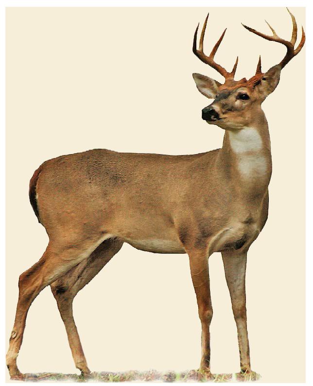 Images of Deer | 644x794