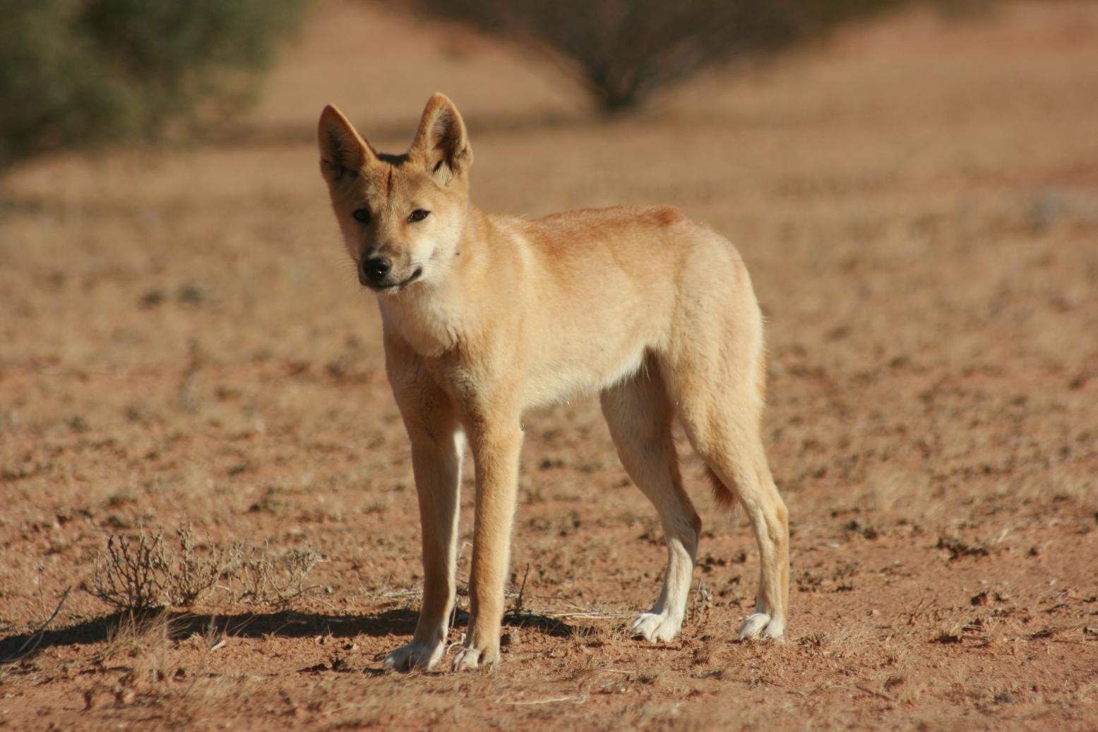 Dingo Pics, Animal Collection