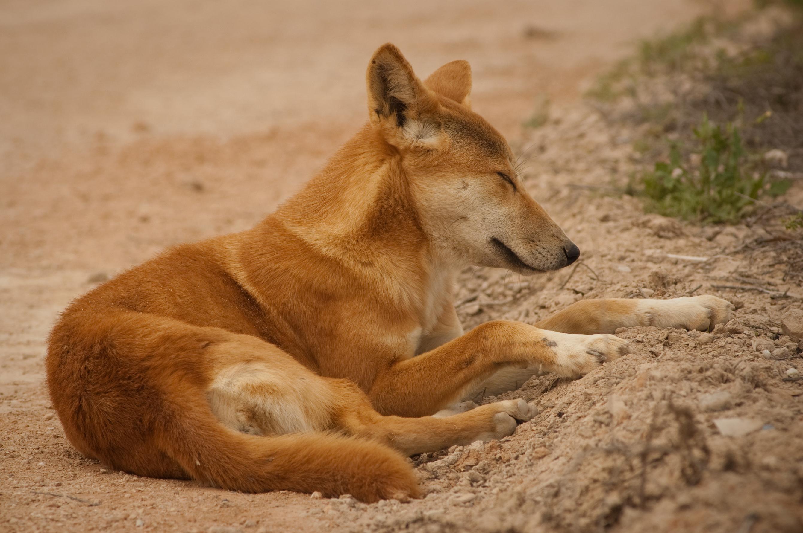 Dingo Backgrounds, Compatible - PC, Mobile, Gadgets| 2682x1783 px