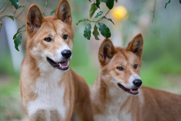 Dingo High Quality Background on Wallpapers Vista