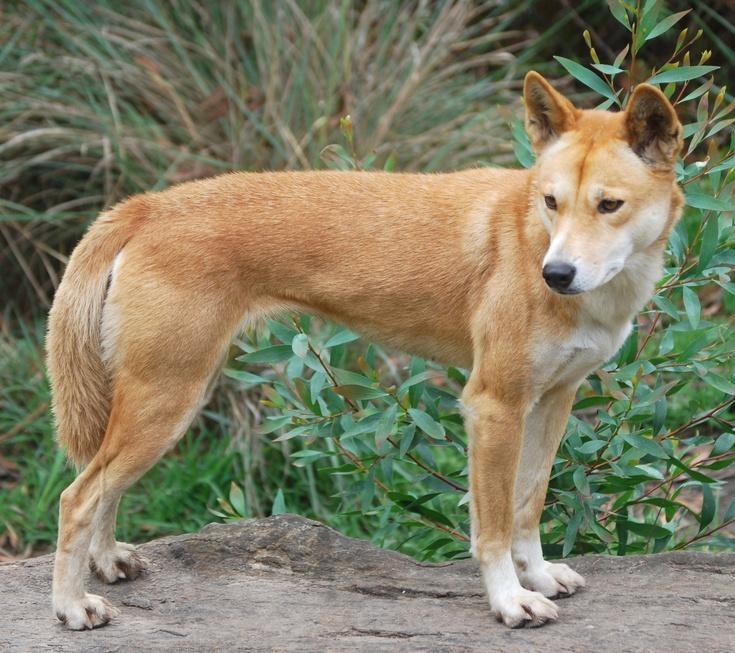 Images of Dingo | 735x653