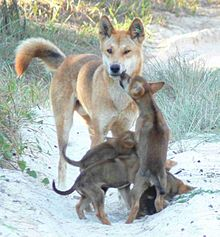 Amazing Dingo Pictures & Backgrounds