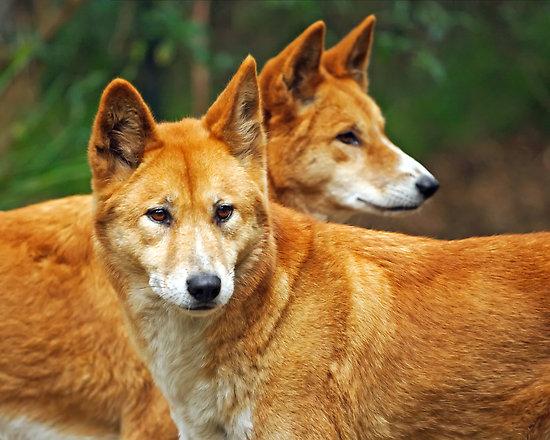 Images of Dingo | 550x440