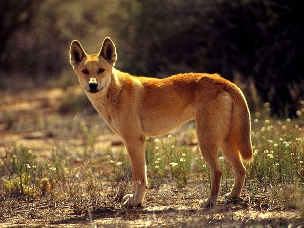 Nice Images Collection: Dingo Desktop Wallpapers
