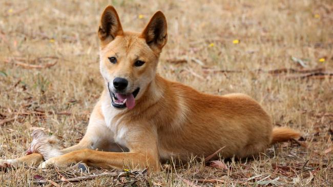 Dingo Backgrounds on Wallpapers Vista