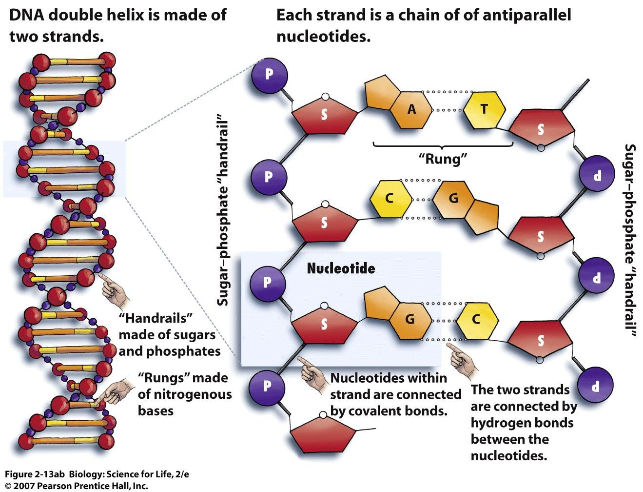 Images of DNA Structure | 1319x1008