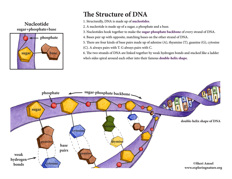 Images of DNA Structure | 792x612
