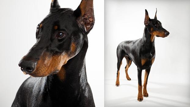 HD Quality Wallpaper | Collection: Animal, 622x352 Doberman Pinscher