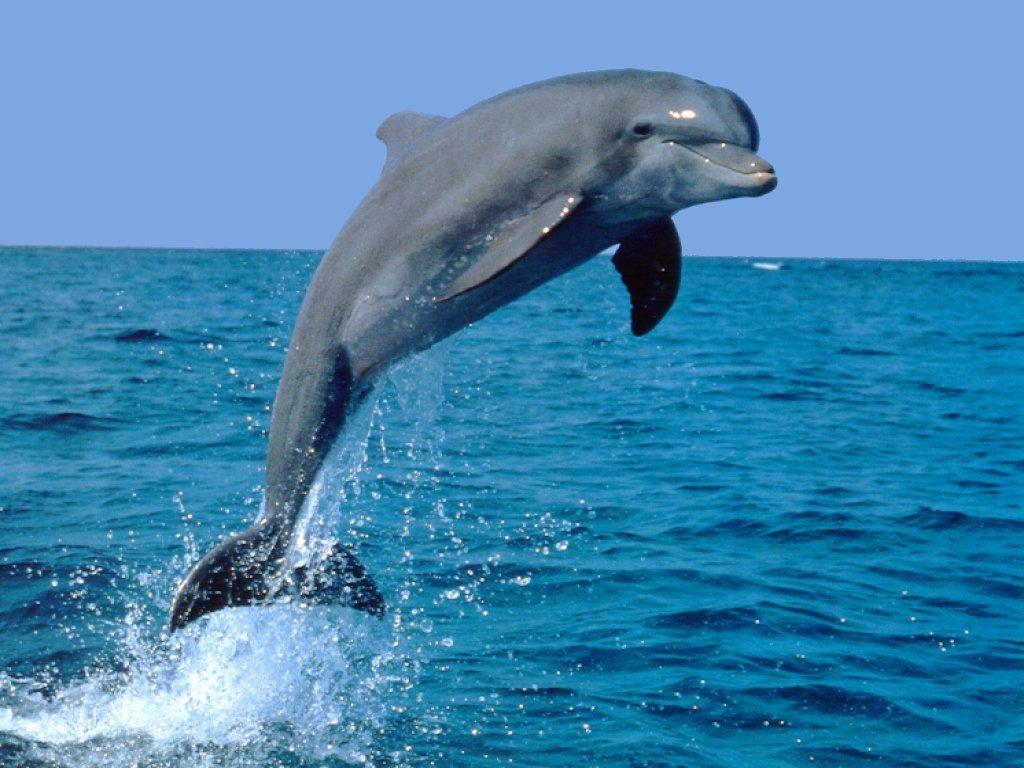 1024x768 > Dolphin Wallpapers
