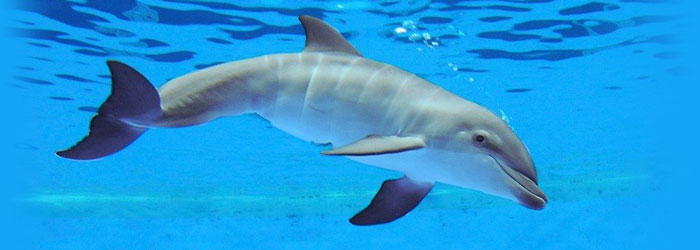 Nice wallpapers Dolphin 700x250px