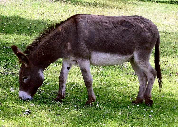 Donkey High Quality Background on Wallpapers Vista
