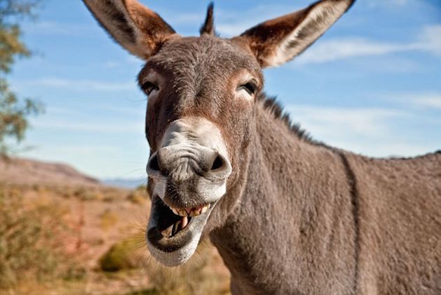 Donkey Backgrounds, Compatible - PC, Mobile, Gadgets| 629x420 px