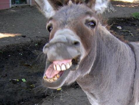 Donkey HD wallpapers, Desktop wallpaper - most viewed