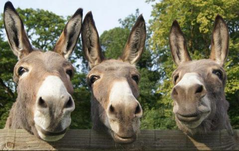 HD Quality Wallpaper | Collection: Animal, 480x304 Donkey