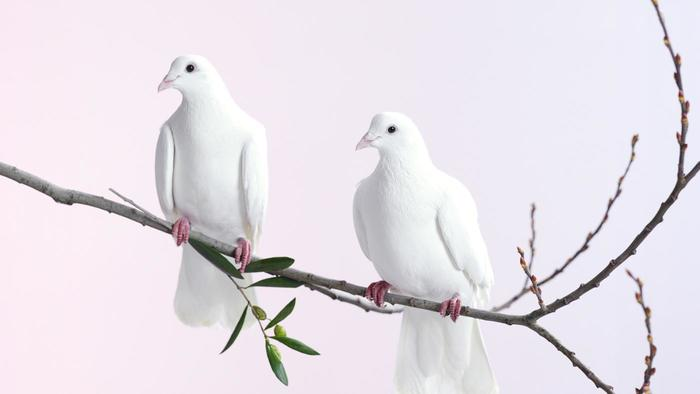 Nice wallpapers Dove 700x394px