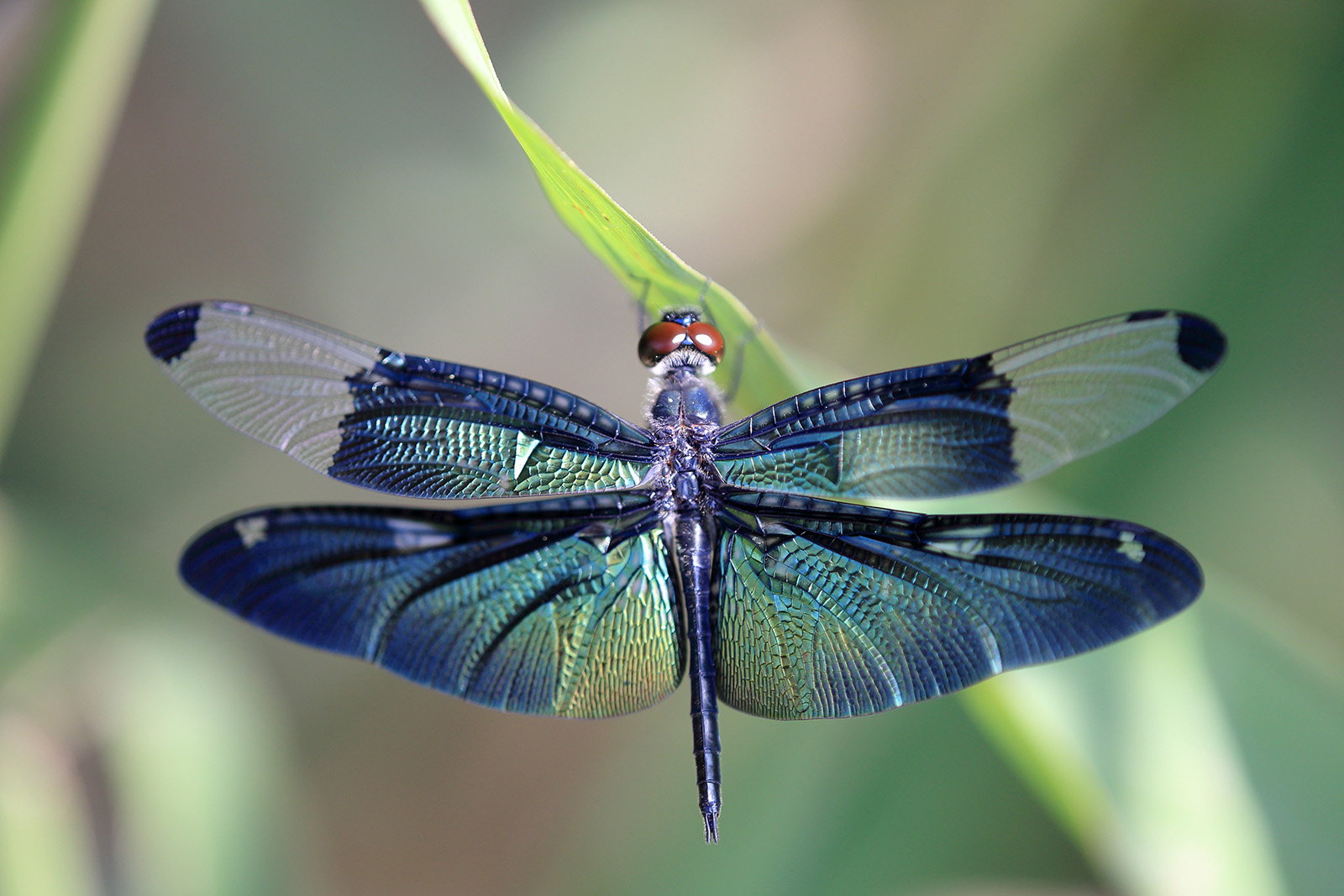 1600x1067 > Dragonfly Wallpapers