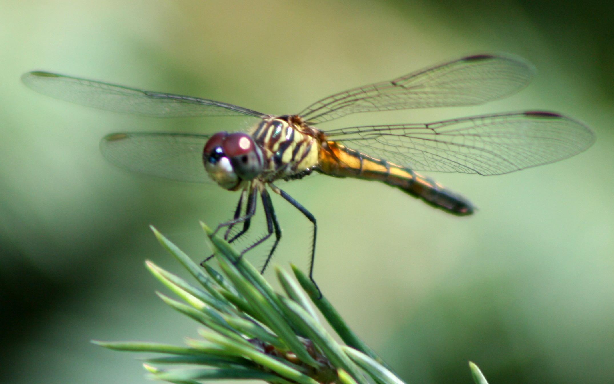 Nice Images Collection: Dragonfly Desktop Wallpapers
