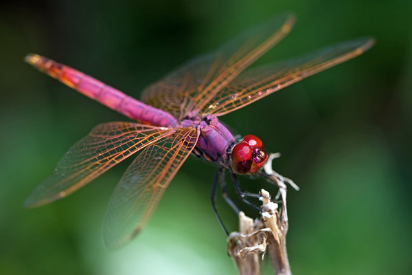 Amazing Dragonfly Pictures & Backgrounds