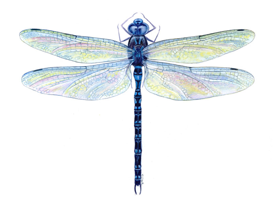 High Resolution Wallpaper | Dragonfly 550x410 px