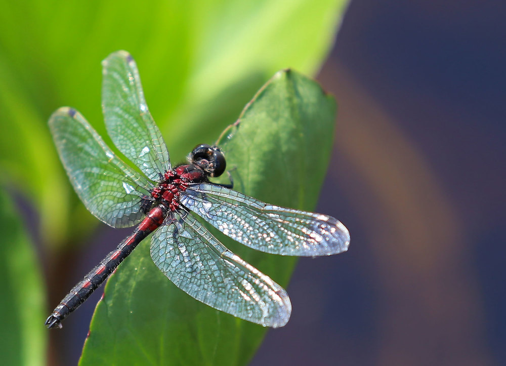 Dragonfly High Quality Background on Wallpapers Vista
