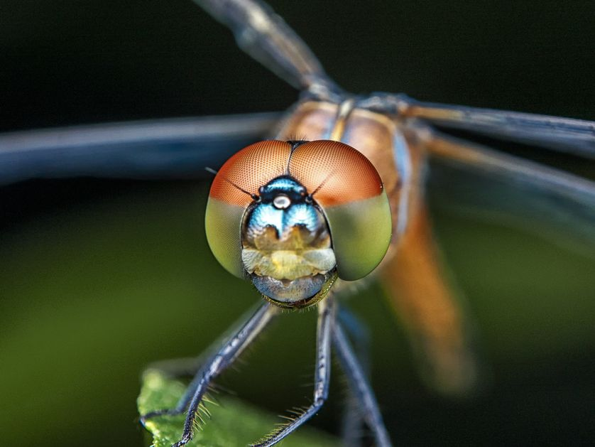 Dragonfly Backgrounds on Wallpapers Vista