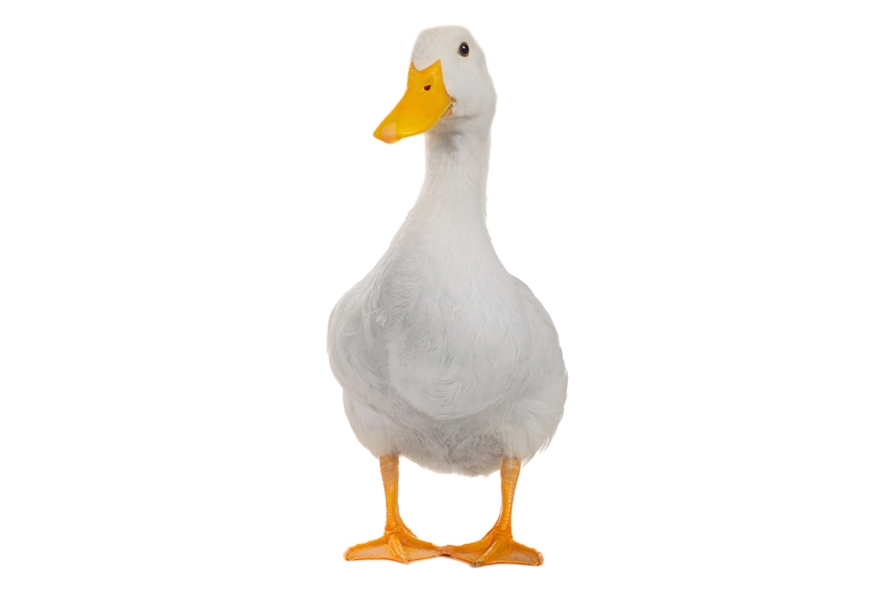 Images of Duck | 1280x853