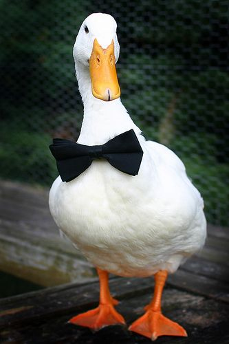 HD Quality Wallpaper | Collection: Animal, 333x500 Duck