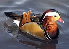 Amazing Duck Pictures & Backgrounds