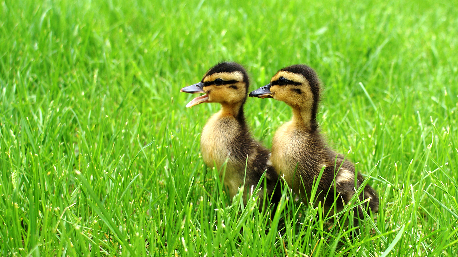 Amazing Ducks Pictures & Backgrounds