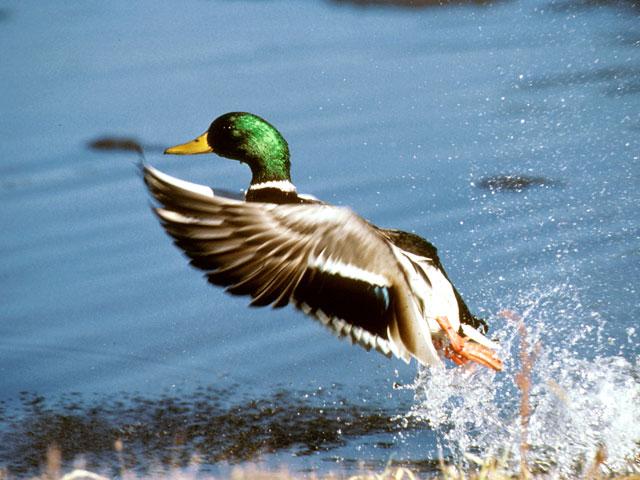 Nice Images Collection: Ducks Desktop Wallpapers